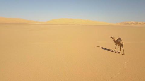 a lone camel in the desert of sugar (Algeria) Archivo