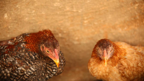 Hens at rural area Footage