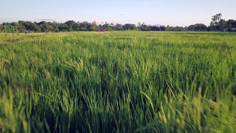 Aerial shot with dron flying above amazing beautiful grass and barley field farm Footage