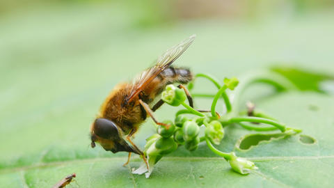 Bee collects nectar from flowers. macro Footage