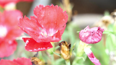 Flowers Or Dianthus Flowers Footage
