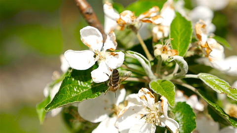 A bee pollinates a flower cherry. Macro Footage