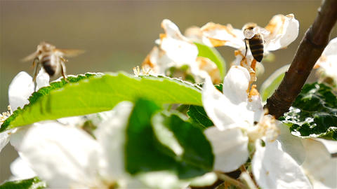 The bee pollinates the flower. Flowering cherry. Macro Footage