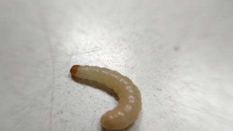 Maggot 1 Footage