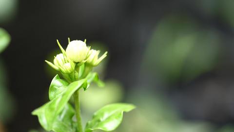 Flowers Or Jasmine Flowers Footage