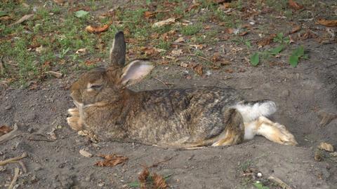 Rabbit Resting Footage