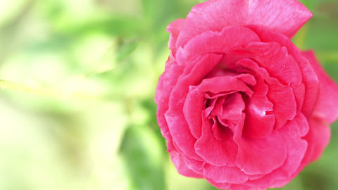 Rose Flower Or Garden Rose Or Pink Rose Live Action
