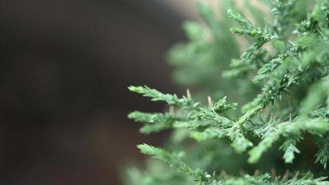 Tree Or Leyland Cypress Tree Footage