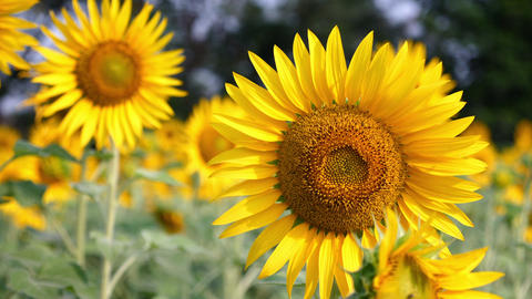 Flowering Sunflowers Or Sunflowers Live Action