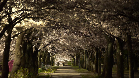 Path under Cherry blossoms or Sakura in full bloom in the night Footage