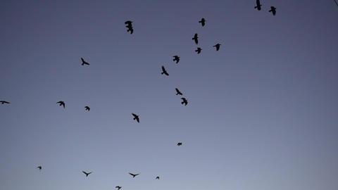 Flock Of Birds Flying Slow Motion Archivo
