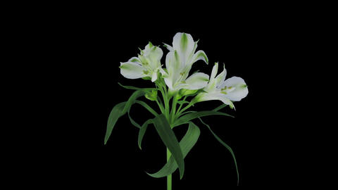 Growing, opening and rotating white Peruvian lily in RGB + ALPHA matte format Footage