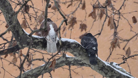 Wild pigeons on the branch when snowflakes falling, close up Archivo