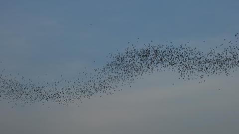 Bat swarm flying on blue sky Footage