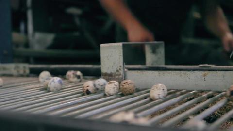 Conveyor quail eggs poultry Farm Archivo