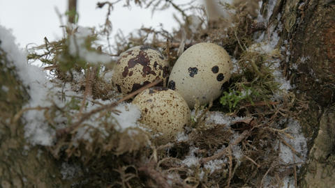 A nest filled with three bird eggs in the branches of a tree. Winter Archivo