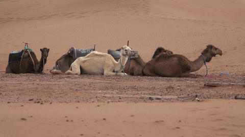 Group of camels resting in Sahara desert Footage