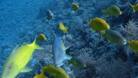Diving In The Red Sea Near Egypt. Active Flock Goatfish stock footage