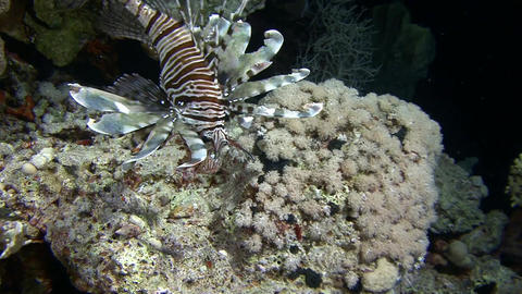 Diving in the Red sea near Egypt.Mysterious night dives. Lionfish are nocturnal Footage