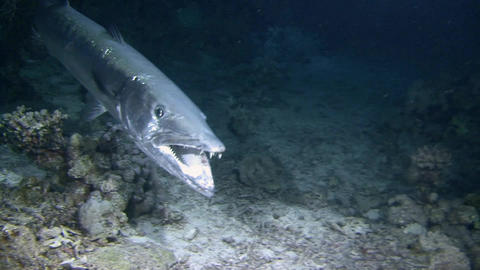 Diving in the Red sea near Egypt. Mysterious night dives. Angry big Barracuda ca Footage