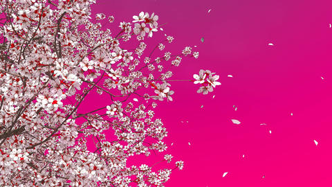 3D sakura cherry tree blossom and falling petals Animation