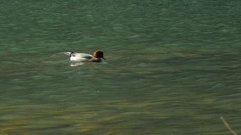 Duck swimming in river 영상물