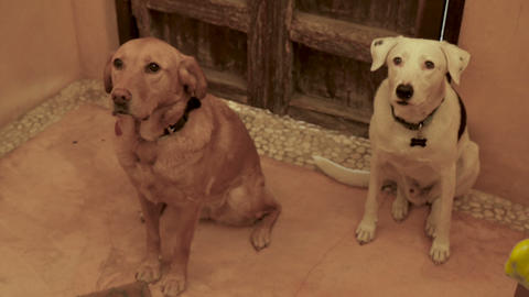 Two well behaved large dogs sitting by a door, looking up towards the camera in Footage