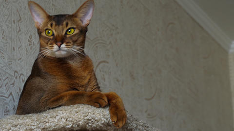 Abyssinian cat portrait Live Action