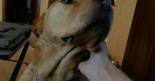Close up of an owner's hand petting the head of a large golden labrador dog Footage