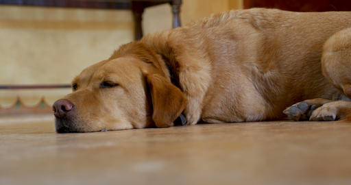 Large yellow or golden labrador retriever mixed breed dog lying on the floor Archivo