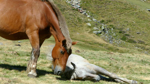Mare and foal in freedom resting in a meadow Footage