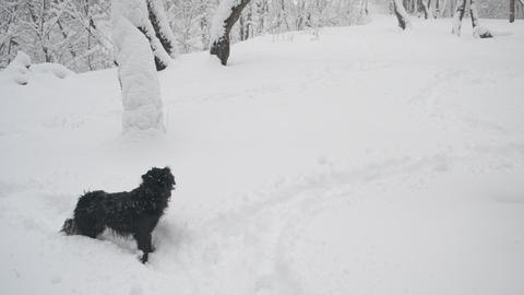 Snow falling on black dog in a snowy forest landscape Footage