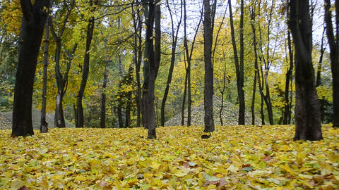 Beautiful leaf fall in autumn in a forest or park Footage