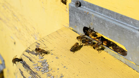 Worker bees on flight board at beehive entrance Footage