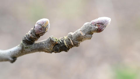 Malus domestica. Close-up of buds on apple tree branch in spring Footage