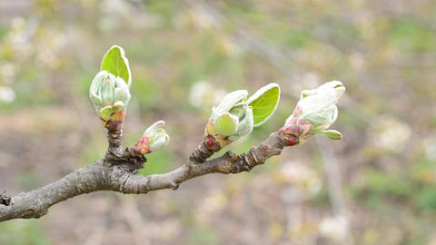 Malus domestica. Close-up of opening leaf buds of apple tree Footage