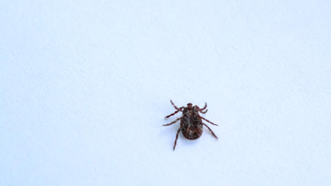 Tick lies upside down, turns over and crawls out of frame Footage