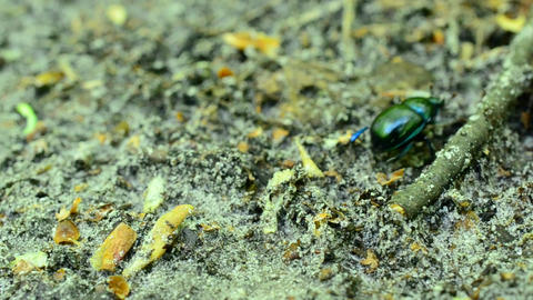 Greenish dor beetle crawls on soil in forest out of frame Footage
