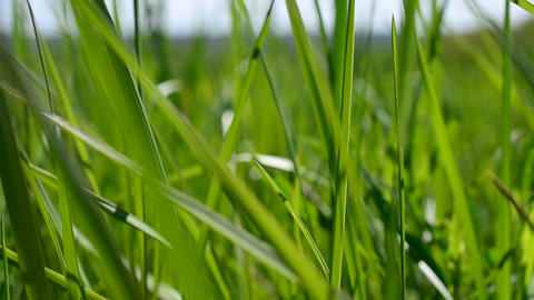 Vibrant lush blades of green grass blown by wind in spring Footage