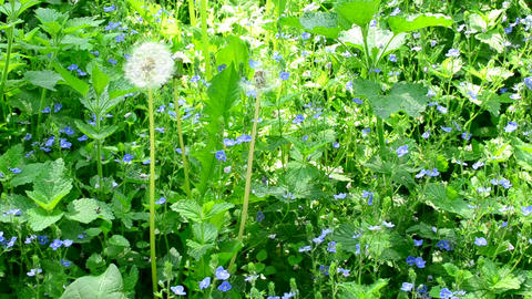 Meadow with many veronica flowers, day nettle and dandelion Footage