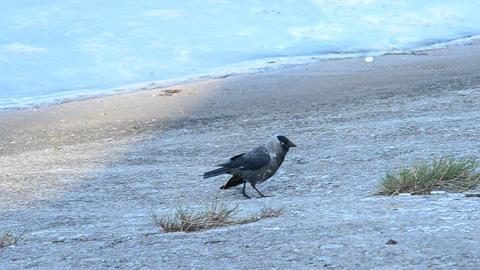 Western jackdaw walks on embankment, takes flight and flies away Footage