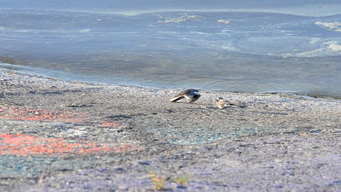 Mating dance of white wagtail near light blue water surface Footage