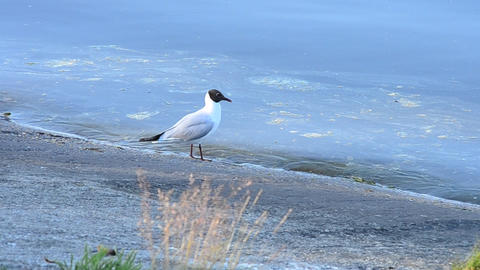 Tern stands and walks along coastline near blue water surface Footage