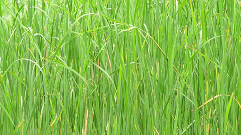 Lush green reed swaying in breeze and filling the frame Footage
