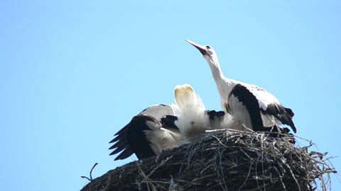 Stork comes down to nest and rattles with its beak Live Action