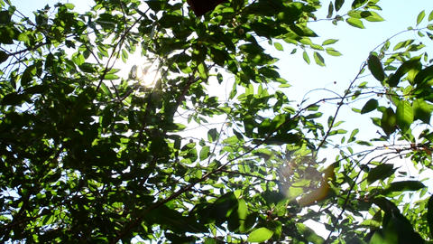 Sun rays come through green cherry tree foliage Footage