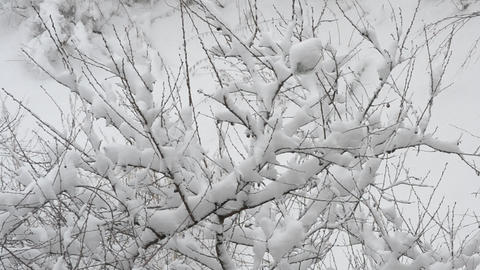 Snow falling on cherry tree branch on white snowy background Footage