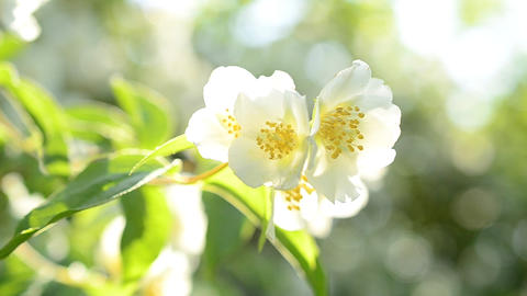 Philadelphus blossom. Mock orange with flowers in sunshine Footage