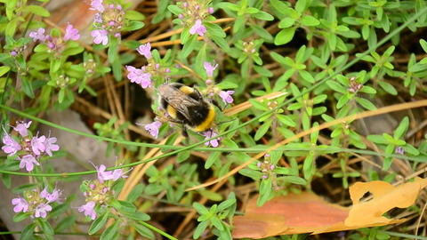 Bumblebee collects nectar or pollen from wild thyme Footage
