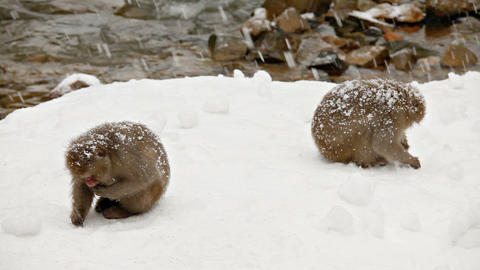 Japanese Snow Monkeys Looking For Food Live Action